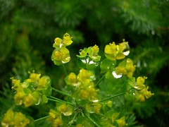 annual plant, flower, yellow, plant, mustard, macro photography, subshrub, herb, flora, green,
