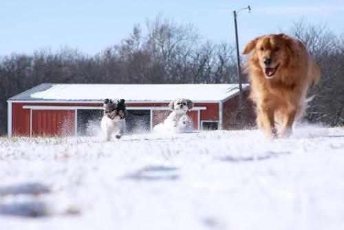 snow dogs oreo dori tinker farmrunning