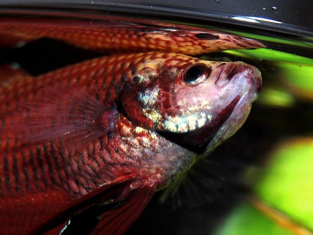 My betta buddy flickr photo sharing for Betta fish life span