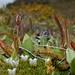 Drosera arcturi - Photo (c) Jon Sullivan, some rights reserved (CC BY-NC)