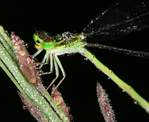 Dew drops and demselfly