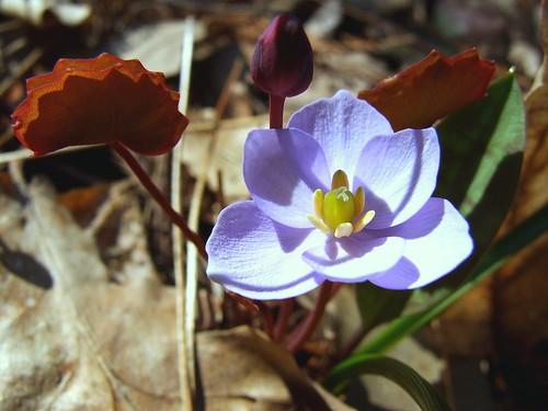 ohio interestingness cleveland explore kirtland holdenarboretum twinleaf lanterncourt treehugger007 jeffersoniadubia asiancounterpart