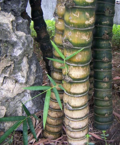 Bambusa tuldoides 2426646167_64084a8ee8_o