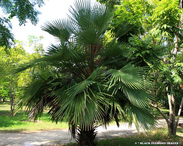 Livistona muelleri - Cabbage Palm