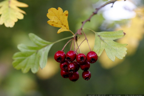 red hawthorn berries and hawthorn leaves    MG 4535