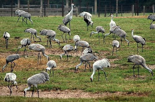 breakfast dinner lunch gainesville fl visitors snowbirds grubs sandhillcranes symbiosis cowfield adored explore86 anawesomeshot