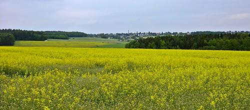 Rapsfeld - Landschaft im Vogtland