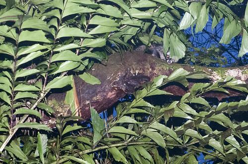 Common palm civet (Paradoxurus hermaphroditus)