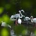 火烈鸟 Flamingos