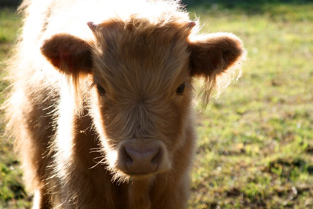 Baby highland cow - photo#25