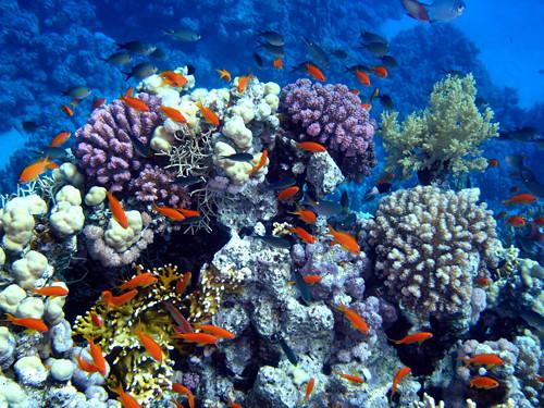 Caribbean Sea Animal Life: Panama Marine Life - Coral Reefs