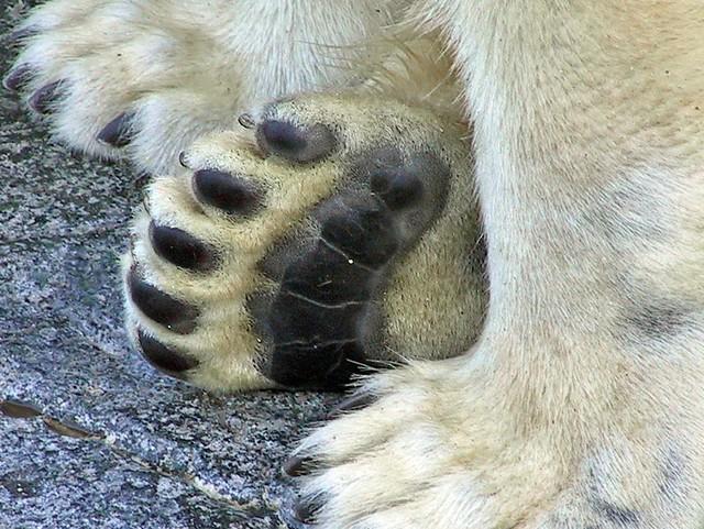 Polar bear claws - photo#25