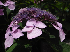 blossom(0.0), annual plant(1.0), shrub(1.0), flower(1.0), leaf(1.0), purple(1.0), hydrangea serrata(1.0), plant(1.0), lilac(1.0), macro photography(1.0), flora(1.0), petal(1.0),