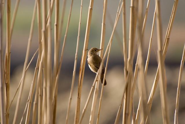 Bird - Kfarzabad Hima