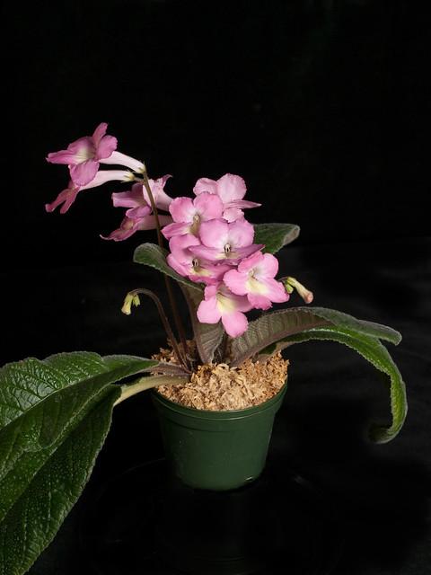 Streptocarpus 'Peachy Pink'