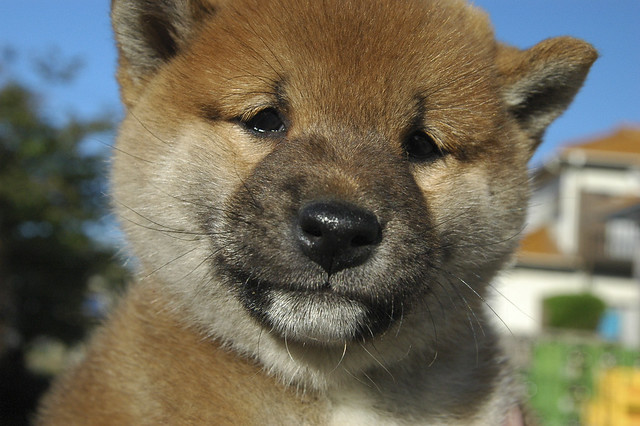 Baby Shiba Inu 柴犬 Flickr Photo Sharing