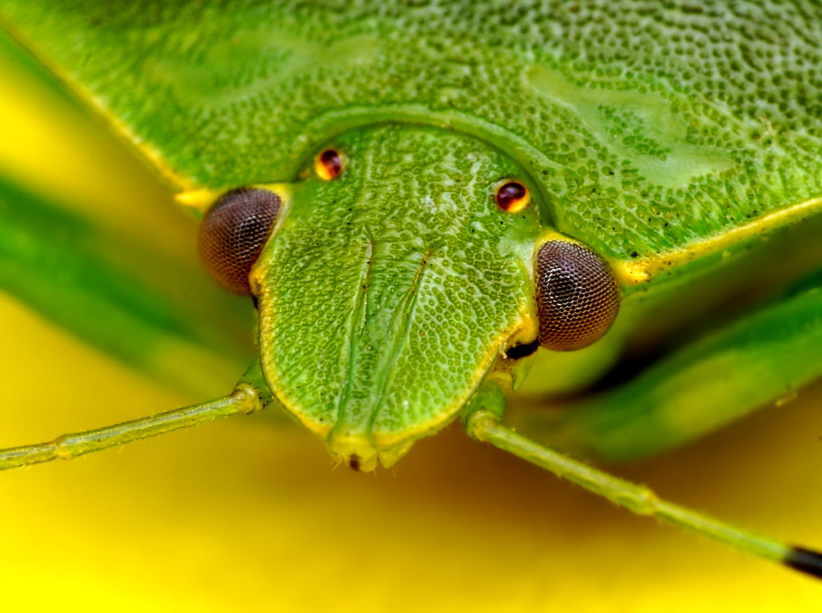 Green Shield Bug - (Acrosternum hilare)