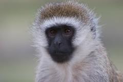 tufted capuchin(0.0), japanese macaque(0.0), macaque(0.0), beak(0.0), animal(1.0), monkey(1.0), mammal(1.0), langur(1.0), fauna(1.0), close-up(1.0), old world monkey(1.0), wildlife(1.0),