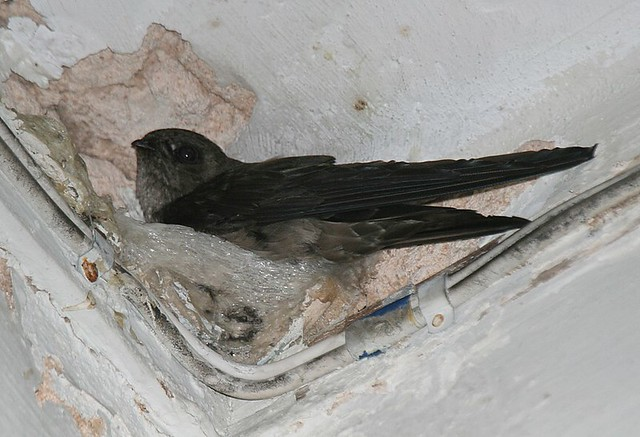 Edible-nest swiftlet, Collocalia fuciphaga