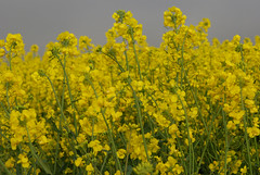 canola, agriculture, flower, yellow, mustard plant, brassica rapa, plant, mustard, produce, crop, rapeseed,