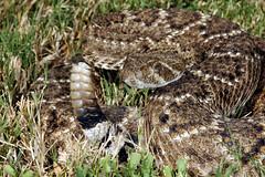 eastern diamondback rattlesnake(0.0), hognose snake(0.0), grass snake(0.0), animal(1.0), serpent(1.0), snake(1.0), reptile(1.0), fauna(1.0), viper(1.0), rattlesnake(1.0), sidewinder(1.0), scaled reptile(1.0), wildlife(1.0),