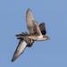 Prairie Falcon (Falco mexicanus) by Don Delaney