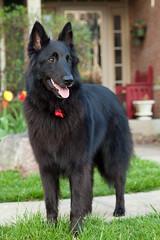 lapponian herder(0.0), german spitz(0.0), karelian bear dog(0.0), norwegian elkhound(0.0), bohemian shepherd(0.0), east-european shepherd(0.0), mudi(0.0), dog breed(1.0), animal(1.0), dog(1.0), pet(1.0), mammal(1.0), old german shepherd dog(1.0), tervuren(1.0), groenendael(1.0), belgian shepherd(1.0), shiloh shepherd dog(1.0), schipperke(1.0),