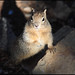 Small photo of Grand Cayon Squirrel