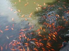 fish pond, marine biology, koi, reflection,