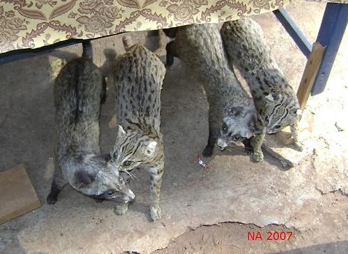 Jual kucing hutan