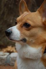 dingo(0.0), finnish spitz(0.0), korean jindo dog(0.0), icelandic sheepdog(0.0), dog breed(1.0), animal(1.0), dog(1.0), carolina dog(1.0), canaan dog(1.0), pet(1.0), pembroke welsh corgi(1.0), close-up(1.0), norwegian lundehund(1.0), carnivoran(1.0), welsh corgi(1.0),