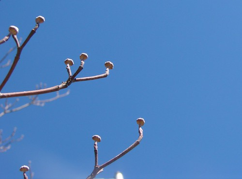 dogwood flower buds against the sky