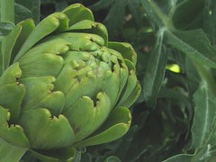 asterales(0.0), thistle(0.0), produce(0.0), food(0.0), nopal(0.0), vegetable(1.0), flower(1.0), plant(1.0), artichoke(1.0), flora(1.0), green(1.0),