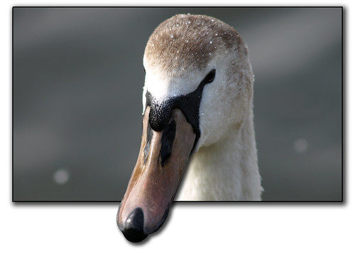 bird swan beak flickrsbest
