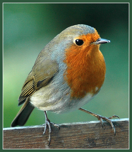 Robin sits on the fence