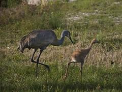 Crane mama and baby