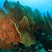 Giant Seafan Coral by Melvin Lee
