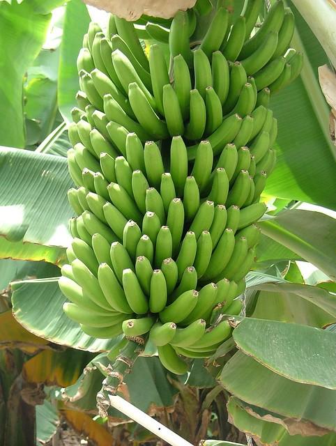 Racimo de plátanos. | Flickr - Photo Sharing!