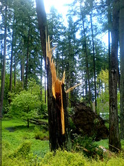 fallen tree in the yard of a home for sale   DSC02888