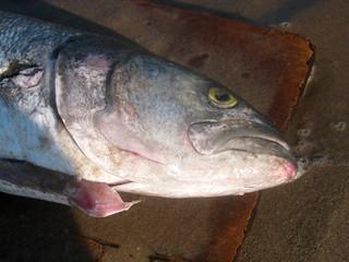 Obrázek Plumb Beach u Kings County. nyc newyorkcity blue fish ny newyork beach brooklyn waterfront catch seashore picnik seacoast sheepsheadbay atlanticcoast raritanbay plumbbeach