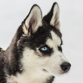 3 month old blue eyed husky