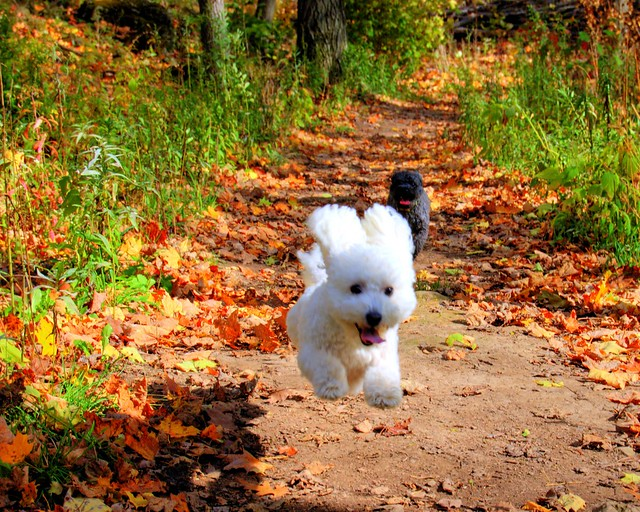 flying bichon frise