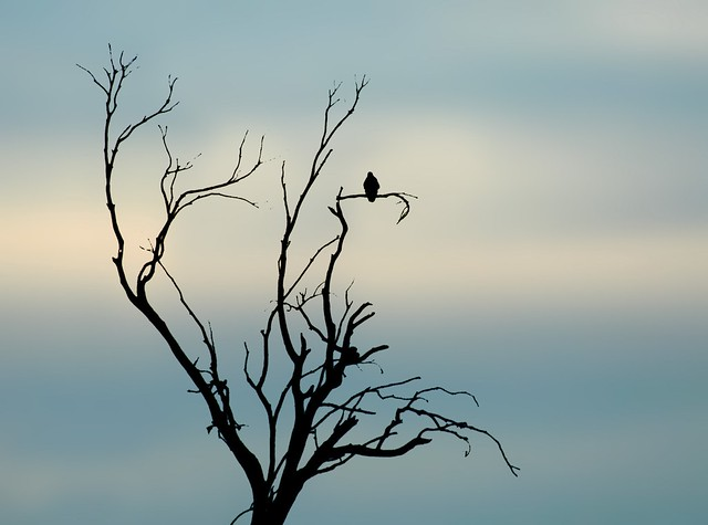 Bird in Tree Silhouette 9155 | The soft background here ...