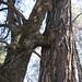 Oak / Pine oddity