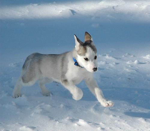 2008-01-dogs-taiga01