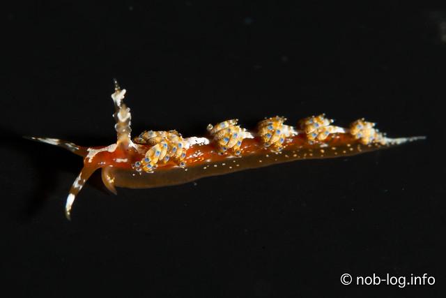ヒブサミノウミウシ属の1種