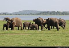 Elephants, Minneriya NP, Sri Lanka