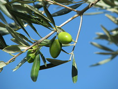 arecales(0.0), blossom(0.0), shrub(0.0), flower(0.0), plant(0.0), macro photography(0.0), produce(0.0), food(0.0), branch(1.0), leaf(1.0), tree(1.0), olive(1.0), nature(1.0), flora(1.0), green(1.0), fruit(1.0),