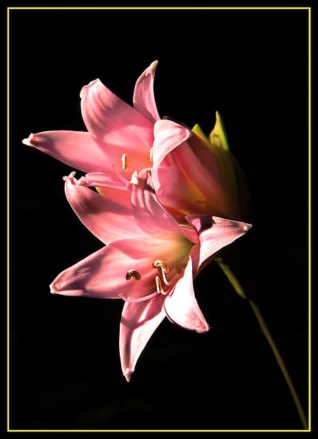 Azucena Silvestre (Amaryllis belladonna)