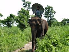 adventure(0.0), grazing(0.0), wildlife(0.0), animal(1.0), indian elephant(1.0), elephant(1.0), elephants and mammoths(1.0), african elephant(1.0), fauna(1.0), mahout(1.0), jungle(1.0), safari(1.0),